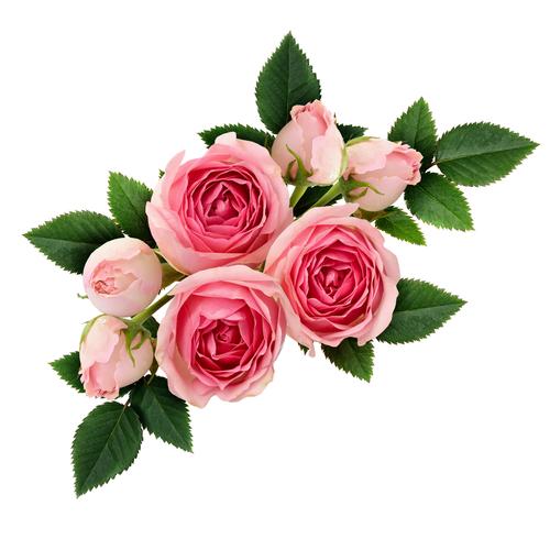 Rose herb benefit