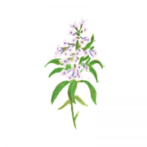 Lemon-Verbena