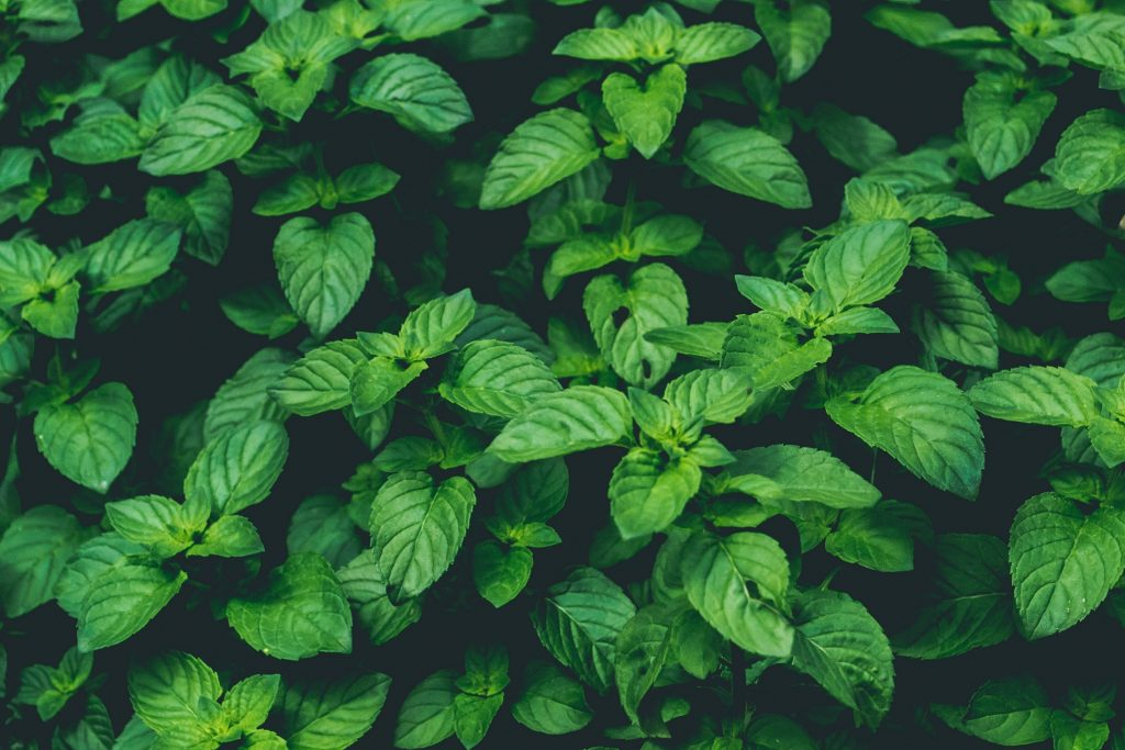 5 Easy Tips to Grow a Healthy Mint Plant