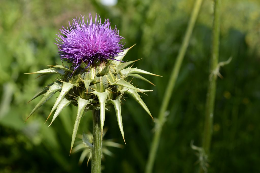 10 Benefits of Milk Thistle