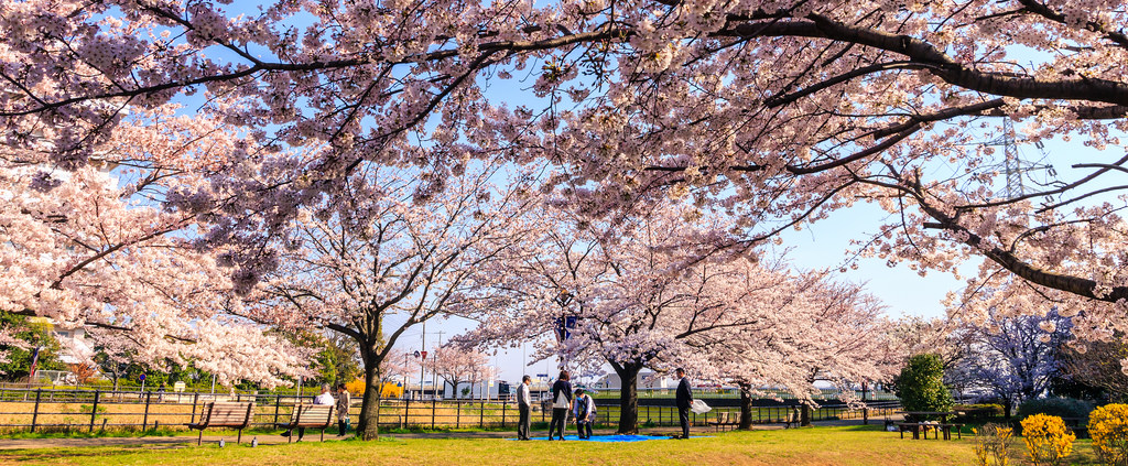 Japan Cherry Blossom Forecast 2019